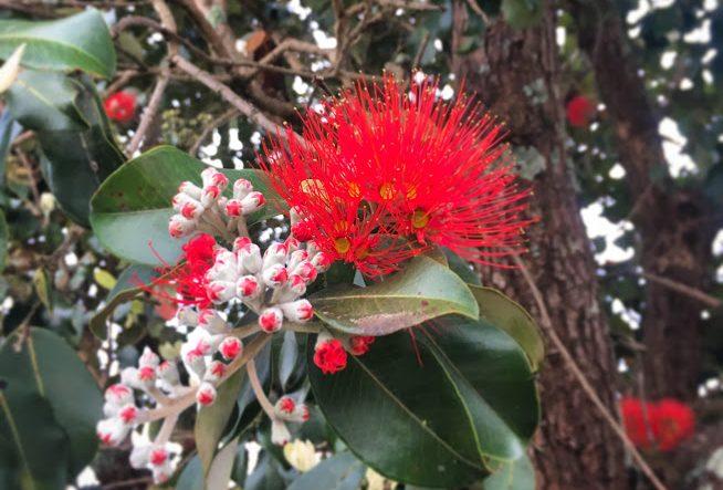 ニュージーランドの木:可愛いポフツカワ発見!?